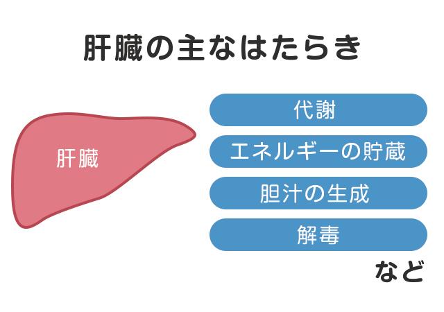 重要な臓器「肝臓」の役割とは?|協和発酵バイオの健康成分研究所